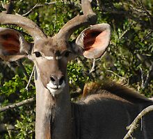 Nyala, South Africa by Sean Elliott