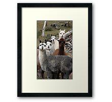 Alpaca Gang Framed Print