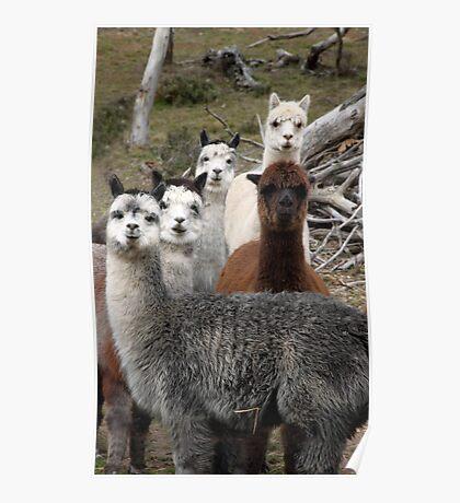 Alpaca Gang Poster