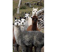 Alpaca Gang Photographic Print
