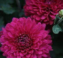 Pink Petals- Edward's Apple Orchard by nielsenca13