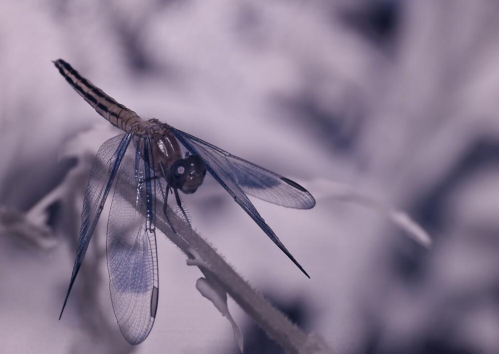 Dragonfly IR by Craig Hender