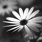 Daisy Mono II by Jon Staniland