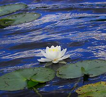 Water Lilies - Black Sturgeon Lake - Kenora by Samantha Zroback