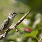 Female Ruby Throated Hummingbird by lar3ry