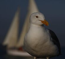 Seagull Inport by fototaker