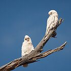 Little Corellas by Robert Elliott