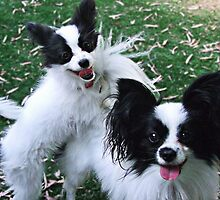 Papillions Puppies by Julia Harwood