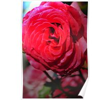 Love is a Red Rose Poster