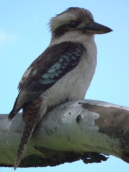 Kookaburra - Full length  by Craig Stronner