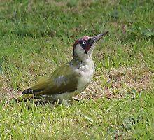 Green Woodpecker by wizard327