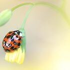 Ladybird by Stephanie Hillson