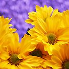 Chrysanthemums on Purple by Tom Mostert