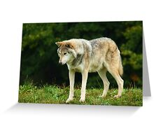 European Timber wolf Greeting Card