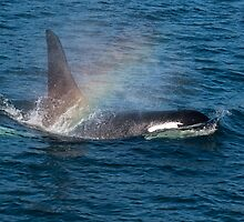 Orca whale with Rainbow by bngphoto