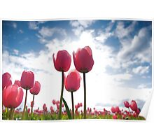 Tulips of the NW Poster
