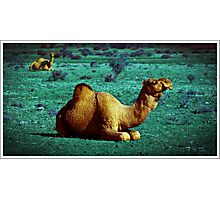 Infrared camel Photographic Print