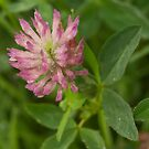 Red Clover flower, saturated with dew by steppeland