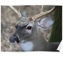 White Tailed Buck Poster