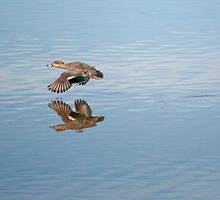 teal in flight by Ron117