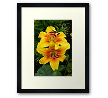 Golden Lilies .. In The Rain Framed Print