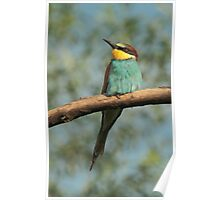 Resting Bee-Eater Poster