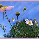 Anemone Japonica  by ©The Creative  Minds