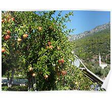 Pomegranite Tree- Rural Turkey .  Poster
