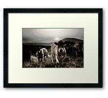 Fell cows. Framed Print