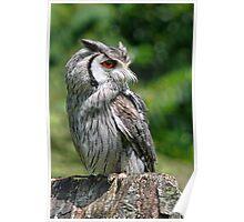 Long-Eared Grey Owl Poster
