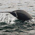 Diving pilot whale by Robert Kelch, M.D.