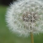 Dandelion by Danielle Gill
