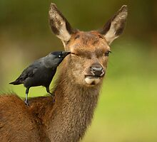 The Jackdaw & Hind by Richard Bond
