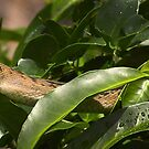 Python in the tree, FNQ by Susan Kelly