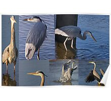 Six Great Blue Herons Poster