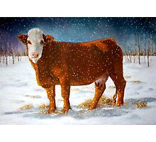 Hereford Beef Cattle in Snow, Oil Pastel Painting Photographic Print