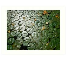 Lily Pads,Lake Washington Art Print