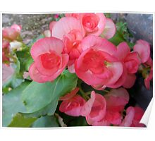 Apricot Colored Begonias - The Color Of Coral Poster