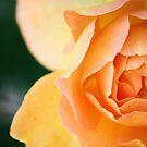 October Rose by Carrie Bonham