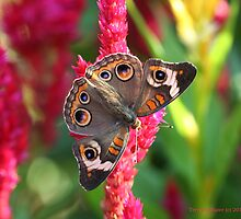The Not So Common Common Buckeye Butterfly by Terry Aldhizer