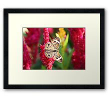 The Not So Common Common Buckeye Butterfly II Framed Print