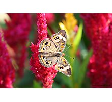 The Not So Common Common Buckeye Butterfly II Photographic Print
