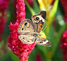 The Not So Common Common Buckeye Butterfly III by Terry Aldhizer