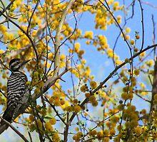 Ladder-backed Woodpecker ~ Female by Kimberly Chadwick