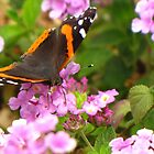 Butterfly ~ Red Admiral II by Kimberly P-Chadwick