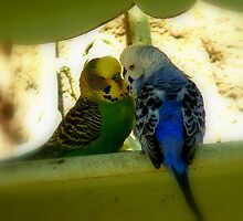 Kiss me quick! - Budgie pair - NZ - Southland by AndreaEL