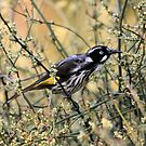 New Holland Honeyeater by Kerryn Ryan, Mosaic Avenues