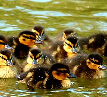 We're Fluffy Jewels - Ducklings - NZ - Southland by AndreaEL