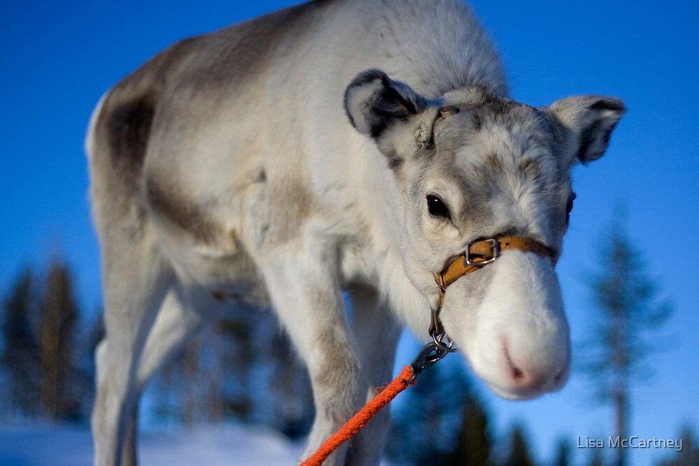 Lappish Reindeer by Lisa McCartney