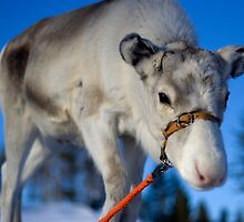 Lappish Reindeer by Lisa McCartney